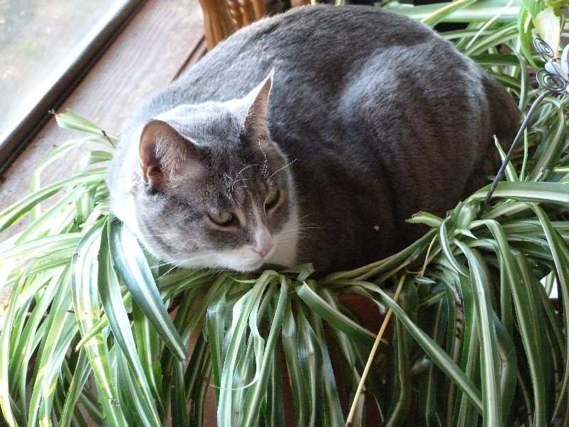 15 indoor plants that can filter the toxins out of your for Is spider plant poisonous to dogs