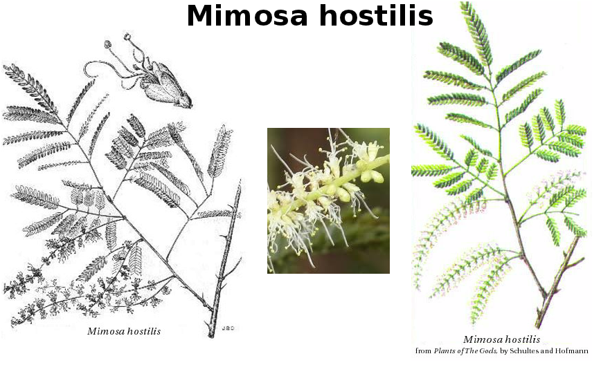 Mimosa hostilis and Mimosa spp  (pudica, ophthalmocentra etc