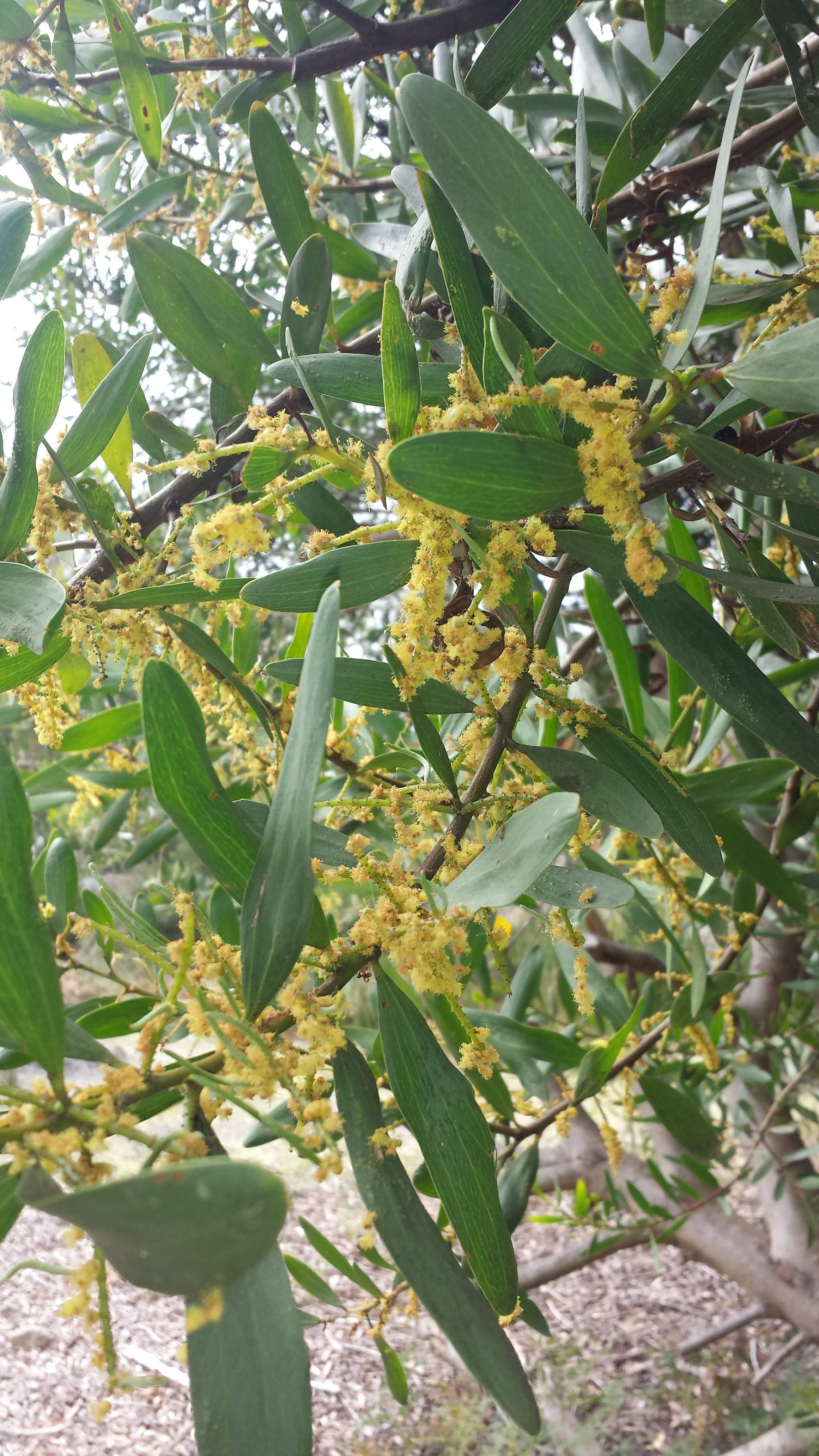 Do All Wattle Trees Contain Dmt Faq All Your Basic Questions And