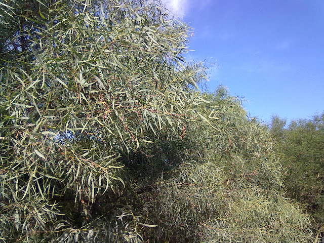 Acacia Identification The Ethnobotanical Garden Welcome To The